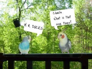 M R Ducks