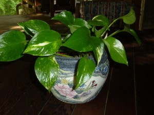 Epipremnum aureum Devil's Ivy or Golden Pothos
