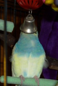 Charlie the parakeet and his bell