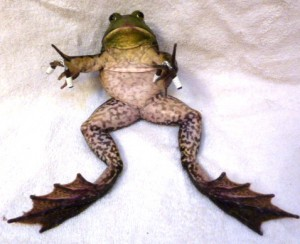 Frog workout